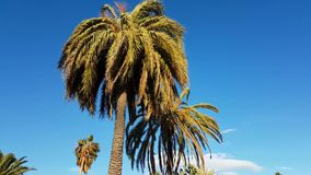 Strong Wind on Palm Trees stock video footage