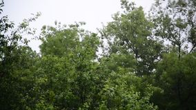 Strong wind and rain shakes trees. A Strong wind and rain shakes trees stock video footage