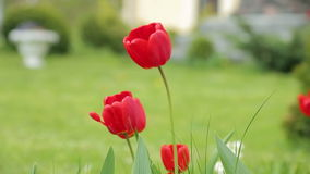 Strong wind and red tulips stock video