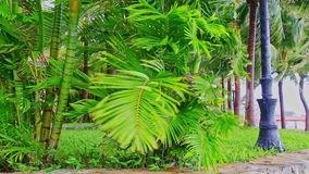 Strong wind shakes large palms low branches in park stock video footage