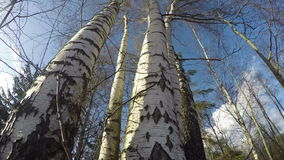 Strong wind in spring birch forest. Timelapse 4K stock video