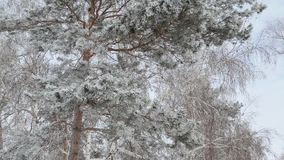 Strong wind swings the snow-covered branches of pine and birch. The branches of pine and birch trees in winter forest covered with thick snow. A strong wind is stock video footage