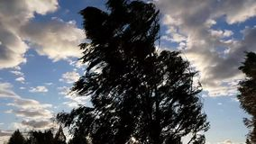 Strong wind and tree swinging. Strong wind and birch tree swinging silhouette stock footage