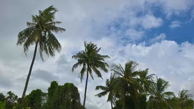 Strong winds shook the Coconut palm trees before a storm in rainy season of Thailand. stock video