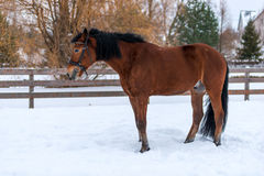 strong young horse in the snow on a ranch Stock Photos