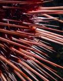 Strongylocentrotus för Röda havetgatubarn franciscanus Fotografering för Bildbyråer
