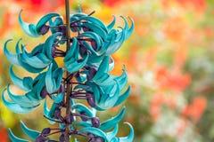 Strongylodon macrobotrys hangende bloemen Royalty-vrije Stock Fotografie