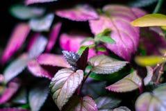 Stronniczo zamazany kwiecisty tło z coleus liśćmi zdjęcia royalty free