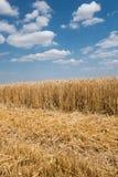 Stronniczo zbierający pszeniczny pole zdjęcia royalty free