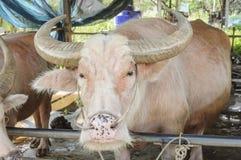 Stroomversnellingbuffels Stock Afbeeldingen