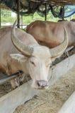 Stroomversnellingbuffels Royalty-vrije Stock Fotografie