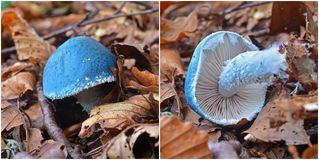 Stropharia cyanea mushroom. In the woods Royalty Free Stock Photography