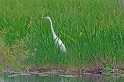 strosa white för heron Royaltyfria Foton