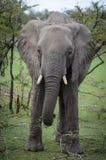 Strosande elefant Arkivfoton