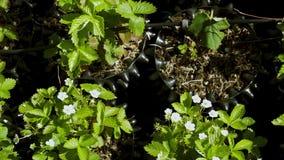 strowberry植物接近的看法空罐的有供水系统的 美好的绿色背景