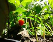 Strowberry 免版税库存照片