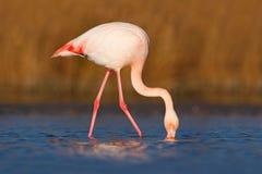 Större flamingo, Phoenicopterus ruber, trevlig rosa stor fågel, huvud i vattnet, djur i naturlivsmiljön, Camargue, Frankrike Royaltyfri Fotografi