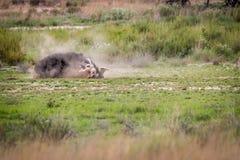Struś ma pyłu skąpanie w Kgalagadi Zdjęcie Stock
