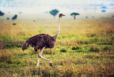 Struś na sawannie, safari w Tanzania, Afryka fotografia stock