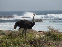 Struś przy przylądka punktem Południowa Afryka Fotografia Stock