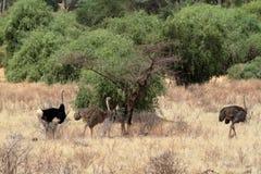 Struś w Afrykańskiej sawannie w Kani Zdjęcie Royalty Free
