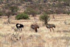 Struś w Afrykańskiej sawannie w Kani Fotografia Stock
