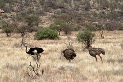 Struś w Afrykańskiej sawannie w Kani Obrazy Royalty Free