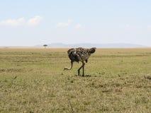 Struś w sawanna safari w Kenja obrazy royalty free
