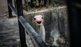 Struś w zoo obrazy stock