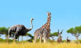 Struś z żyrafami i antylopami na sawannie zdjęcia stock