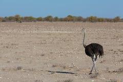 Struś i pustynia Zdjęcie Royalty Free