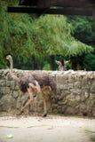 Struś i zebra Fotografia Stock