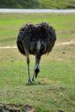 Struś jest dzikim ptakiem który chodzi na zielonej trawie Fotografia Stock