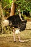 Struś na wyspie karaibskiej Mucura Kolumbia Obraz Royalty Free