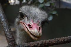 Struś przy Zoologicznymi ogródami, Dehiwala colombo sri lanki obrazy stock