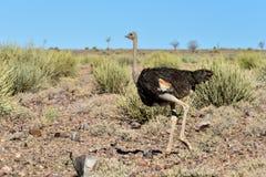 Struś, Rybi Rzeczny jar - Namibia, Afryka Obraz Royalty Free