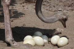 Struś (Struthio camelus) sprawdza swój jajka w gniazdeczku Fotografia Royalty Free