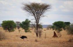 Struś w Afryka safari Tarangiri-Ngorongoro Fotografia Royalty Free