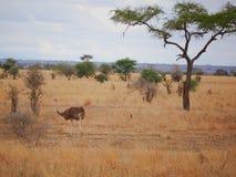 Struś w Afryka safari Tarangiri-Ngorongoro Obrazy Royalty Free