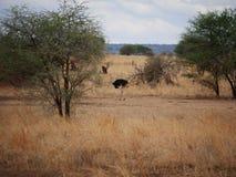 Struś w Afryka safari Tarangiri-Ngorongoro Obraz Stock