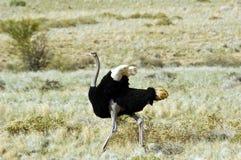 Struś w Namibia Fotografia Royalty Free
