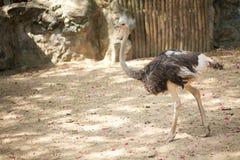 Struś w zoo Obrazy Royalty Free