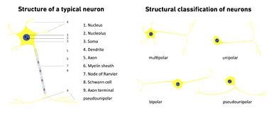 Structural classification of neurons and structure of a typical neuron; vector illustration