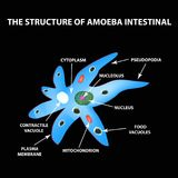The structure of the amoeba is intestinal. Gastrointestinal Amebiasis. Infographics. Vector illustration on black background. The structure of the amoeba is vector illustration