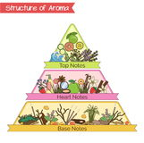 Structure of aroma infographic pyramid. Aromatic structure notes guide for perfume, scent and aroma infographic. Top, heart, middle and base notes pyramid chart royalty free illustration