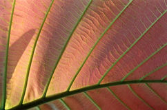 Structure of Asiatic leaf Royalty Free Stock Images