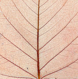 Structure of autumn leaf. Macro. Stock Photos