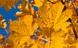 Structure of autumn leaf Stock Image