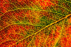 Structure of autumn leaf Royalty Free Stock Photos
