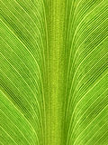 Structure of a banana leaf Stock Photography